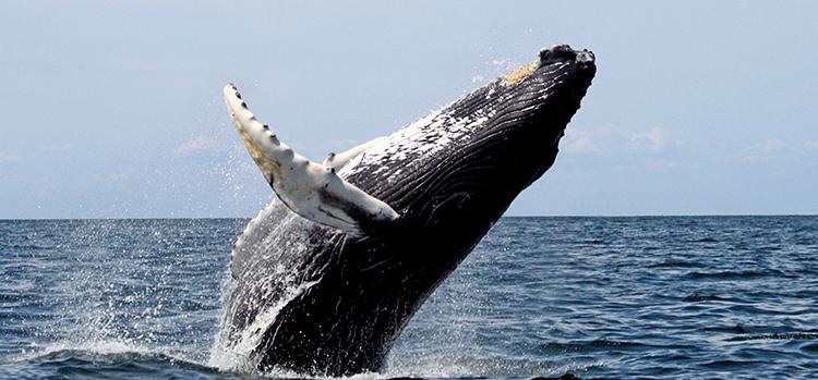 Courtesy of Stellwagen Bank National Marine Sanctuary