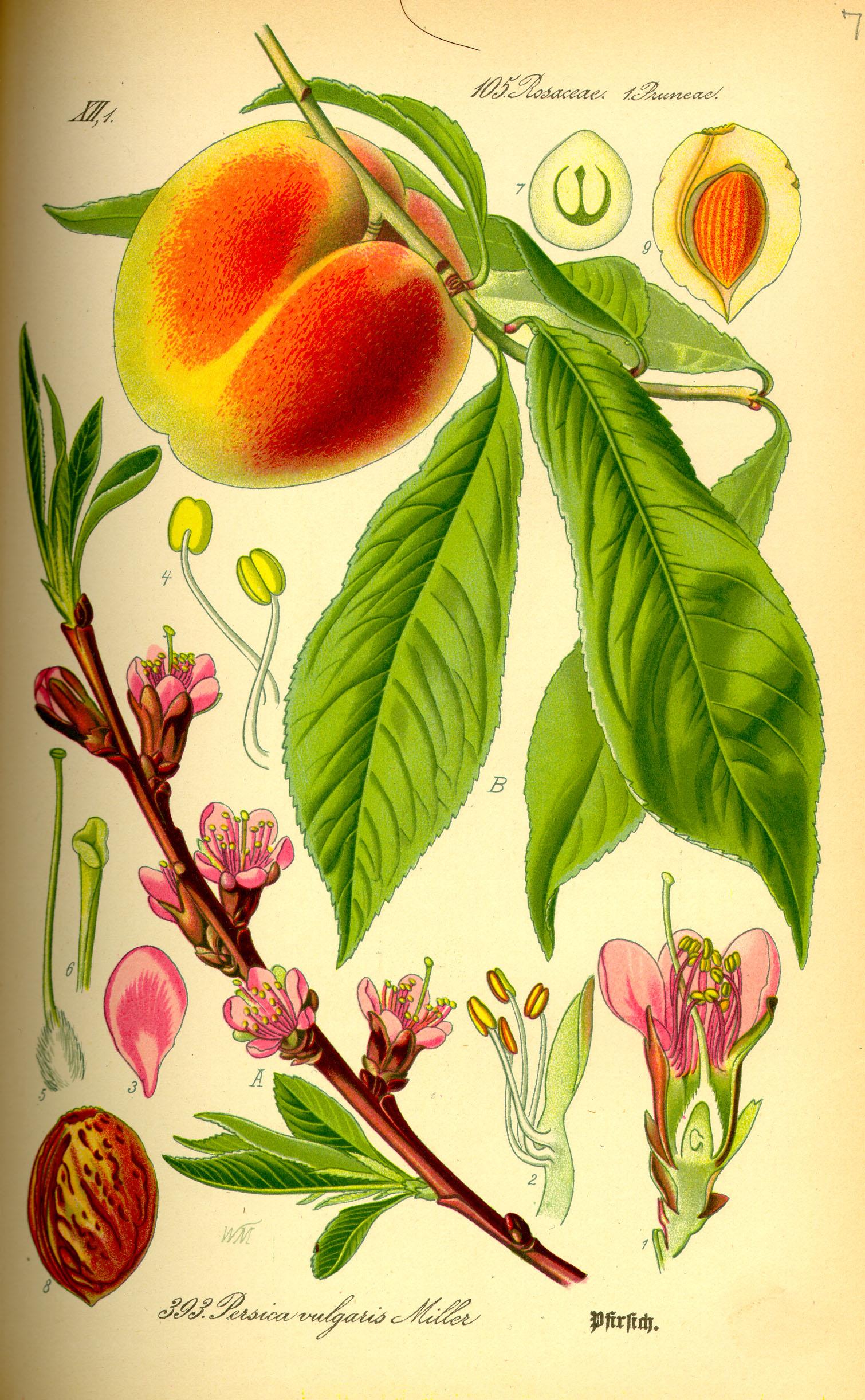Prunus persica  - The Persian Plum. From Prof. Dr. Otto Wilhelm Thomé,  Flora von Deutschland, Österreich und der Schweiz  1885, Gera, Germany. Distributed under  CC 4.0  license, via  Wikimedia Commons .
