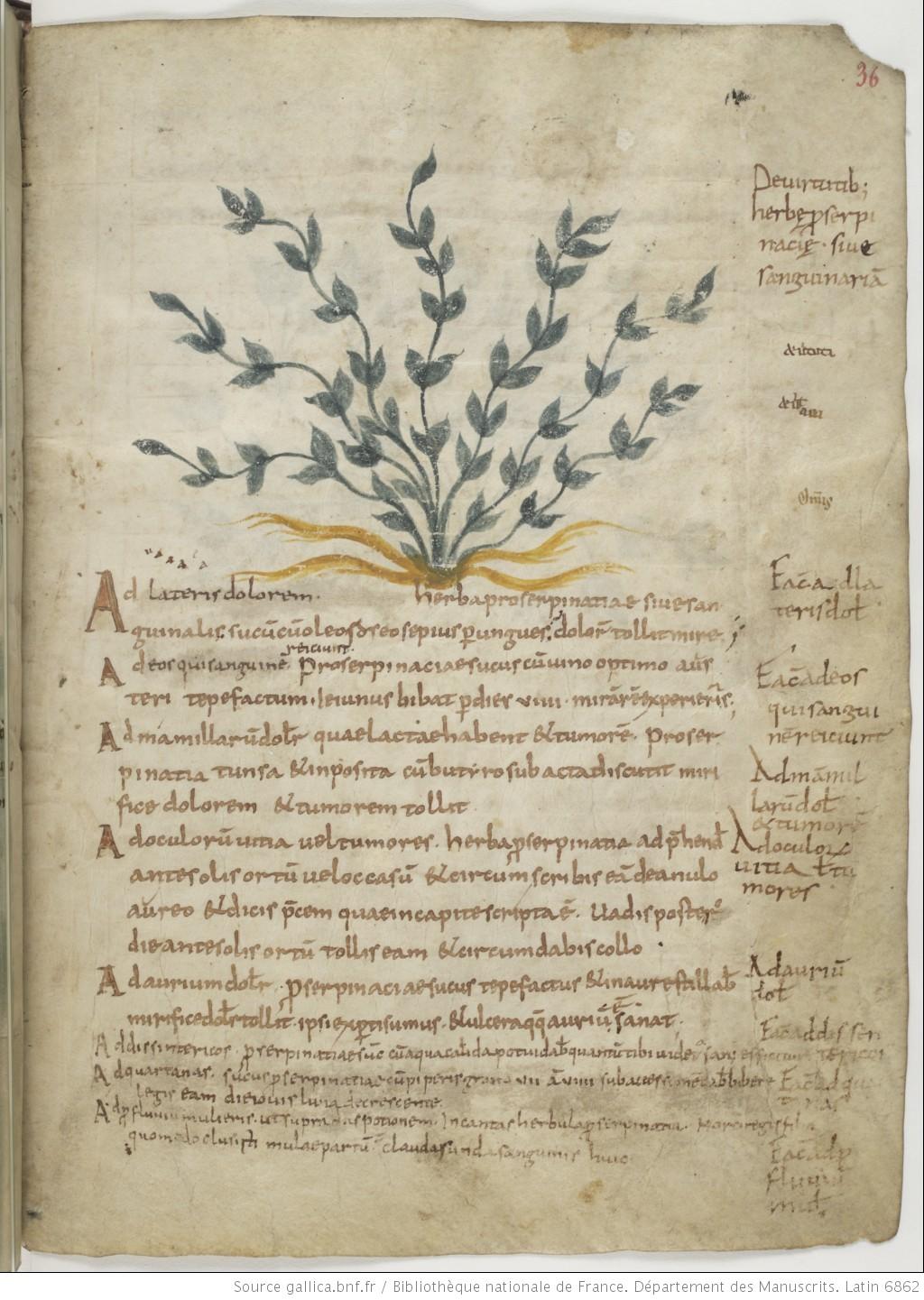 Pseudo-Dioscorides,  De herbis femininis  in  Cod. Par. Lat. 6862  (9th century).
