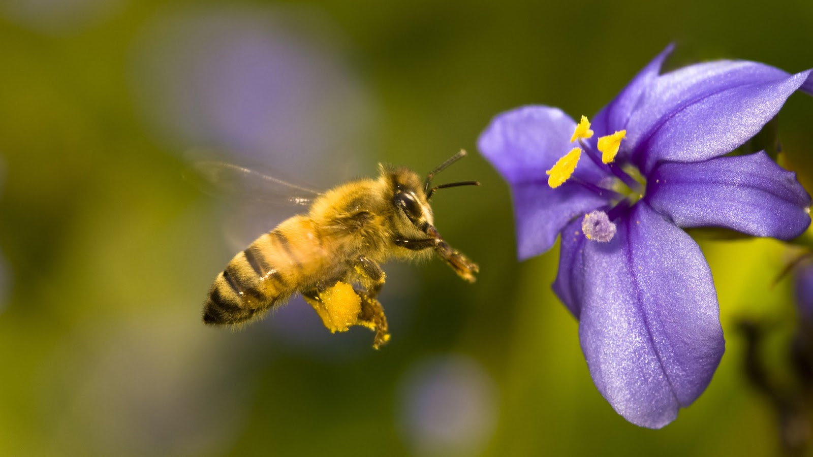 Honey-Bee-collecting-food-from-flowers-Images.jpg