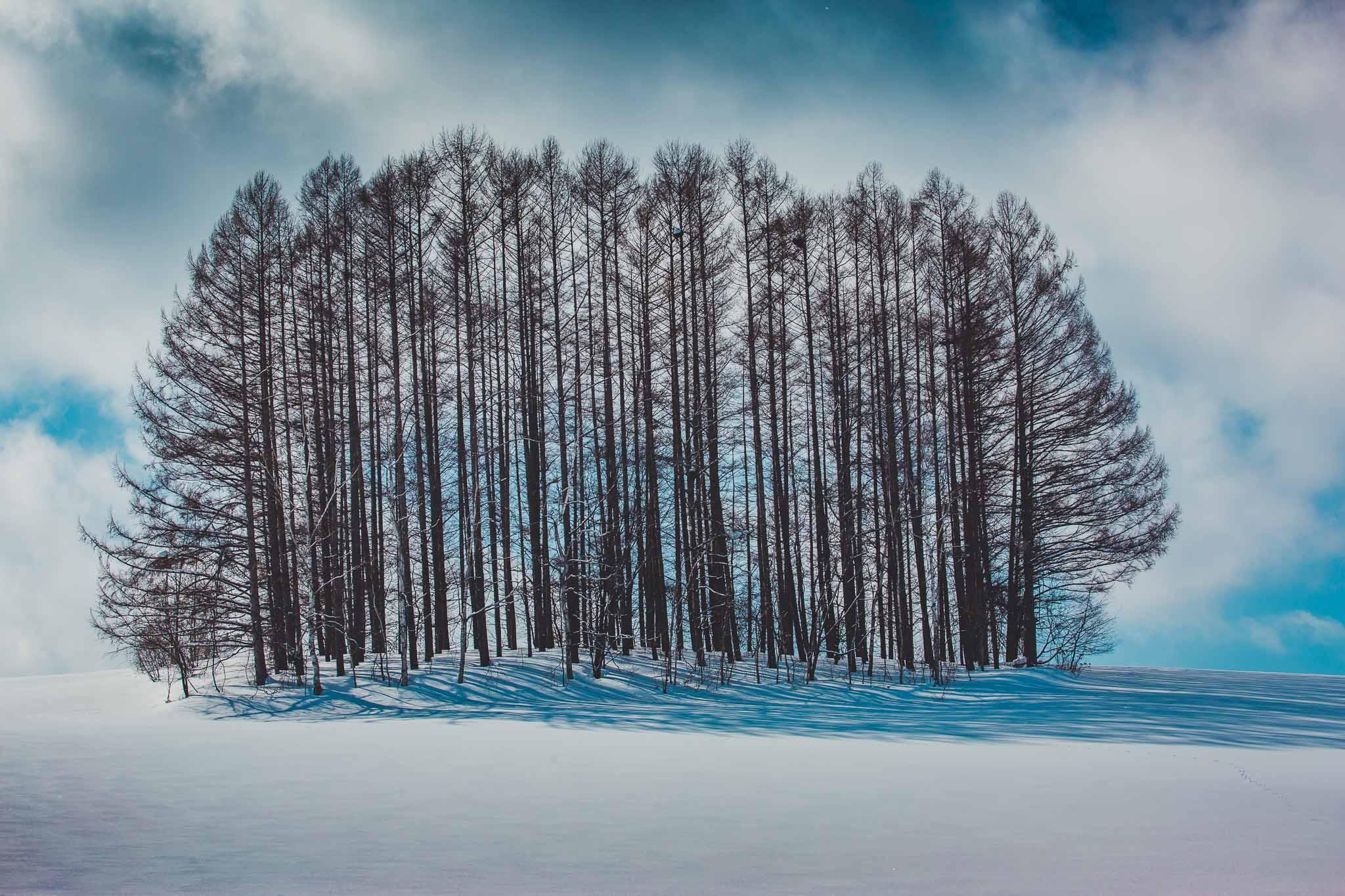 Biei Winter Trees