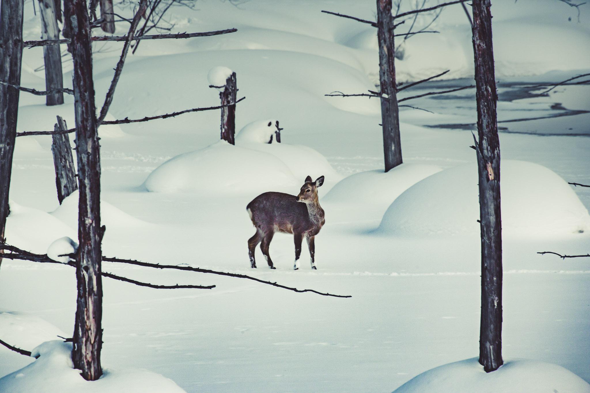 Deer on Frozen Pond, Biei
