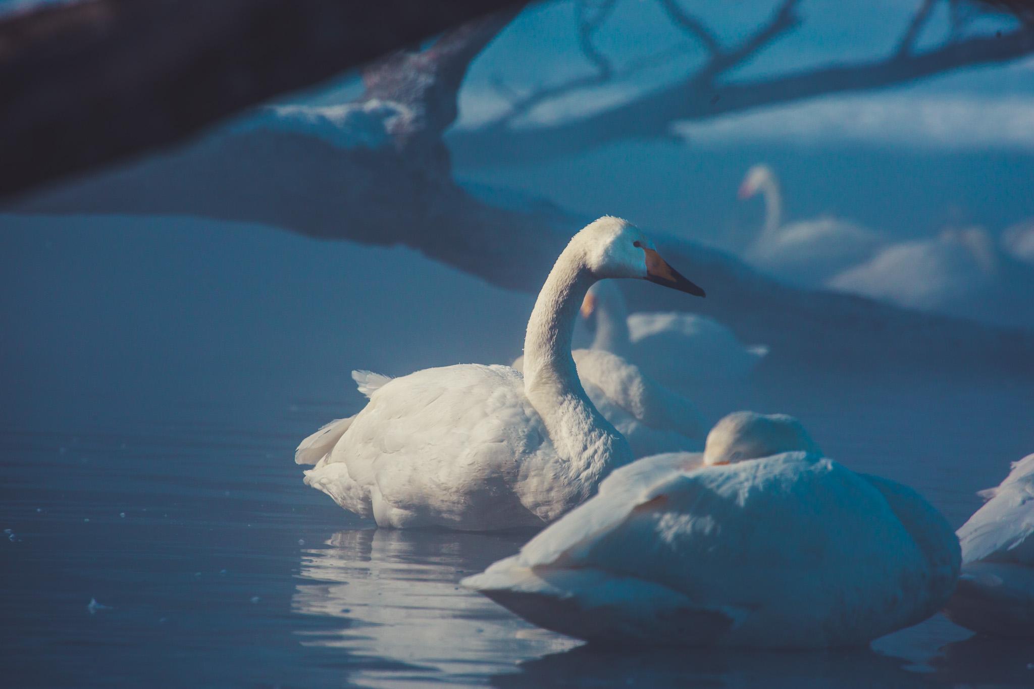 Whopper Swans