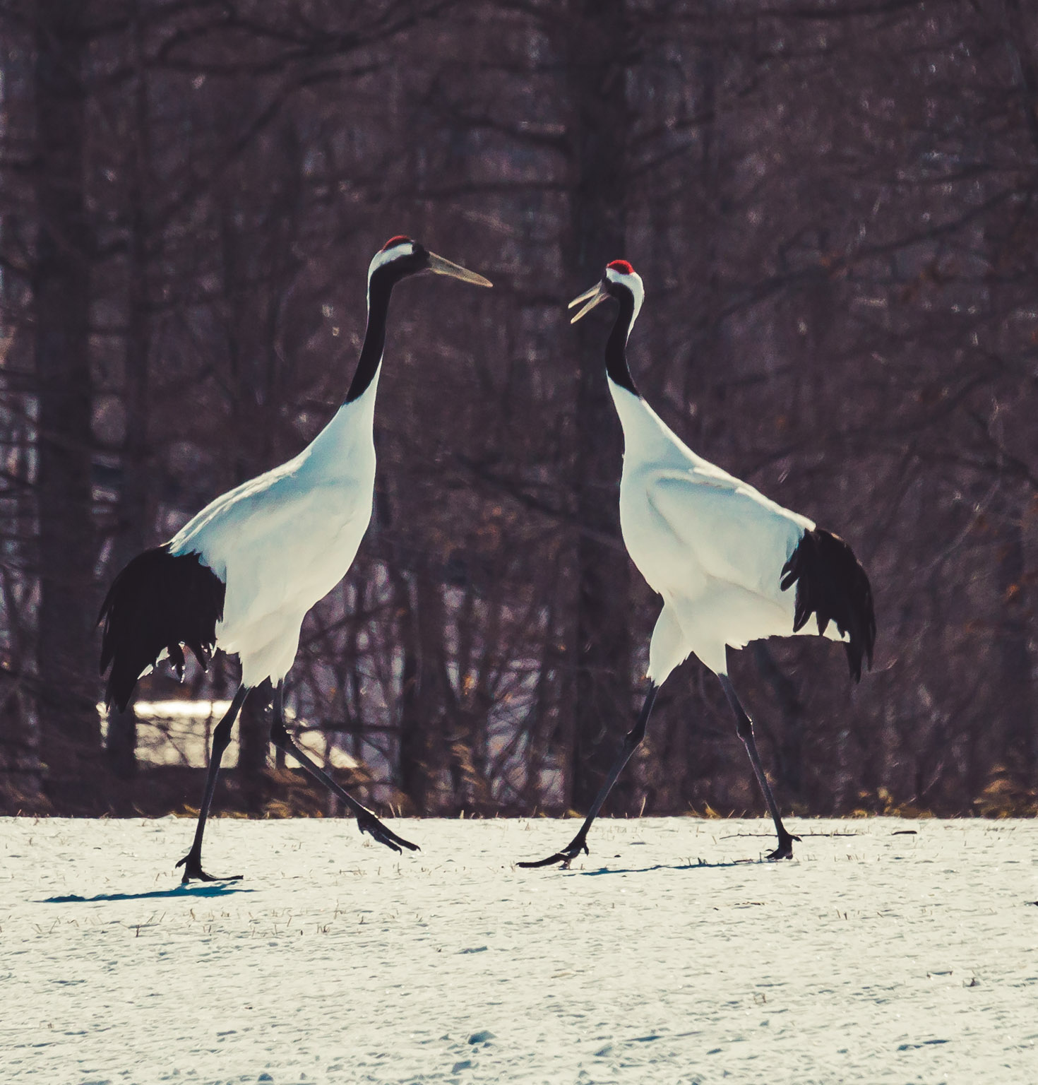 Red Crowned Crane Birds
