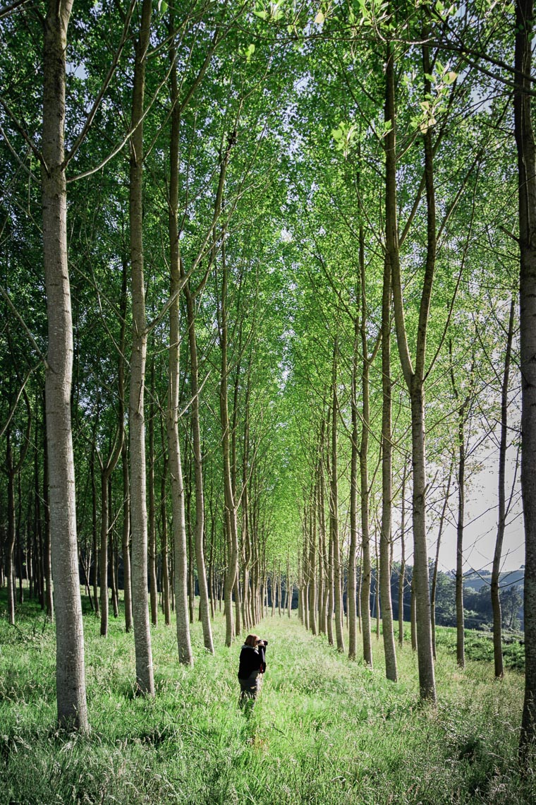 Basque Birch Trees