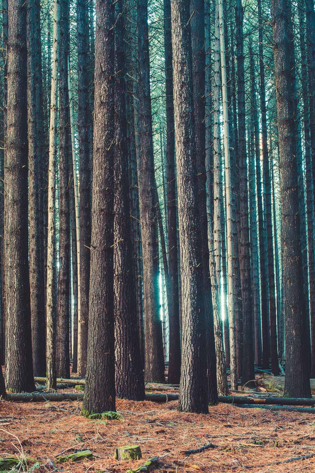 Sugar Pine Forest (1 of 11).jpg