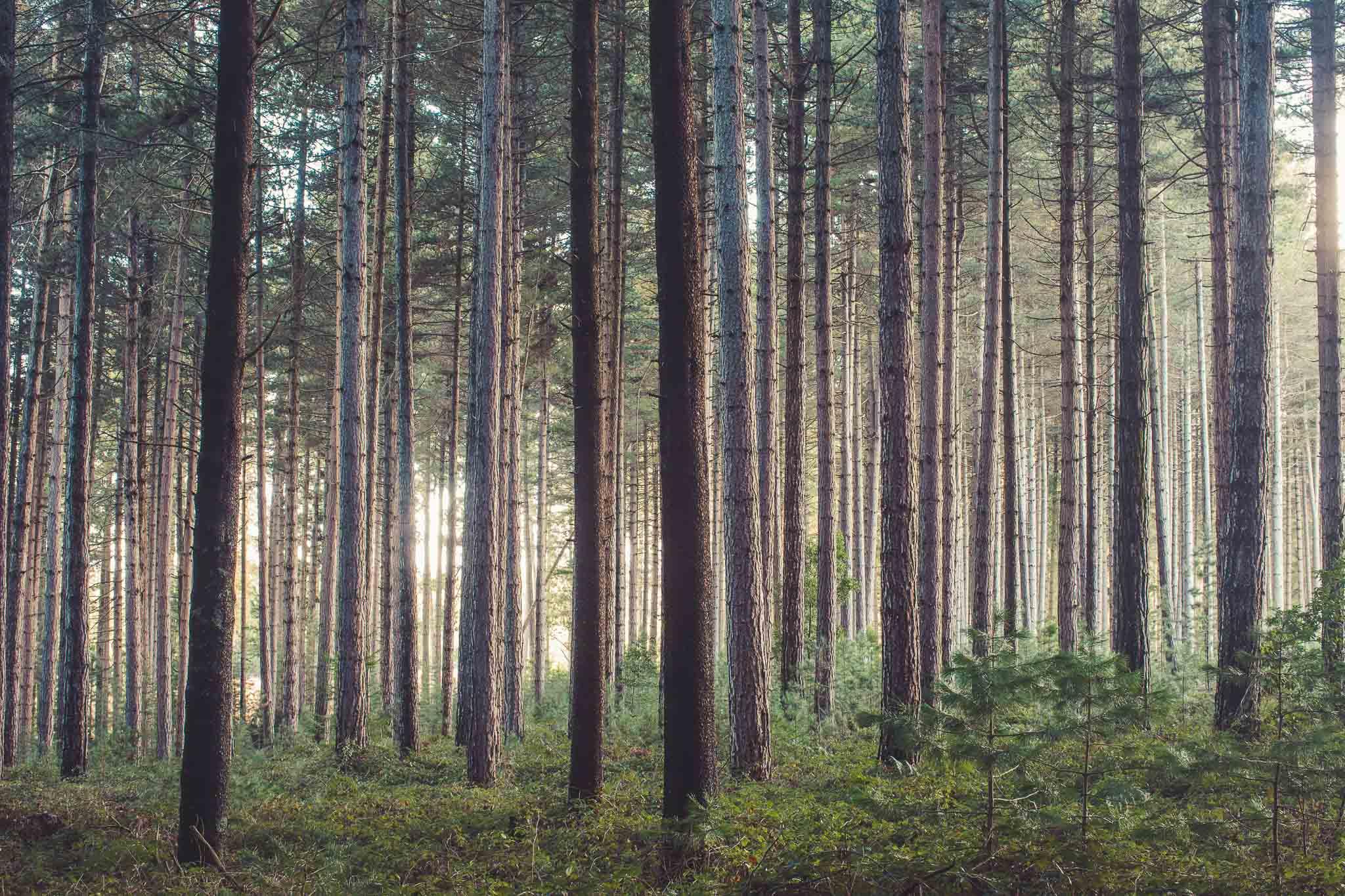 Sugar Pine Forest (21 of 33).jpg