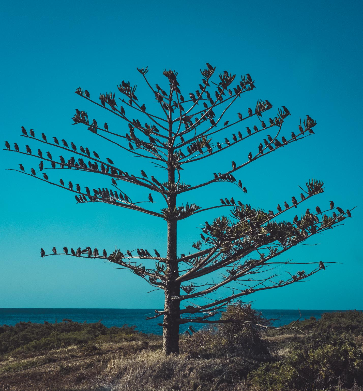 Lonely Tree at Cape Jarvis