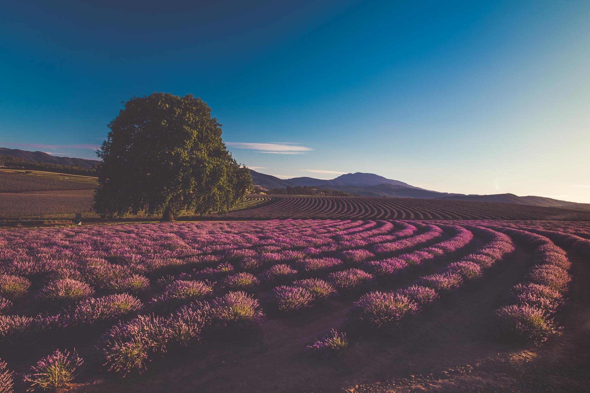 Bridstowe Lavender