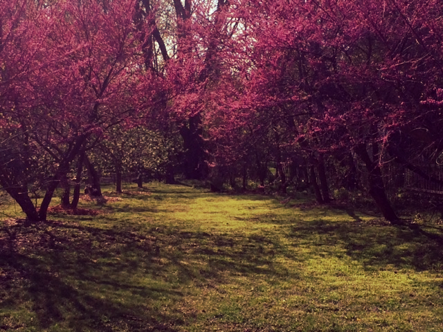 My Organic Lawn during Dandelion Season