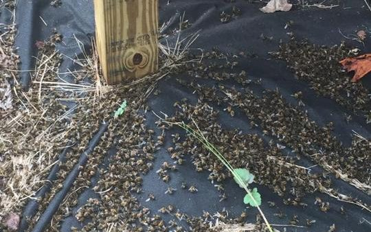 A picture posted on Facebook of dead bees at Flowertown Bee Farm and Supply. CREDIT: FACEBOOK