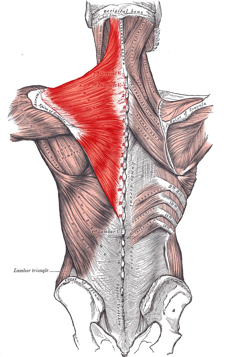 location of trapezius [ source ]