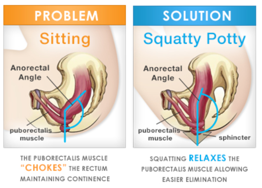 Squat-muscle.png