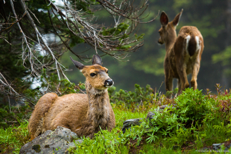 Deer on the Mount Angeles Trail, Hurricane Ridge, Olympic National Park- 9Z4A1281 © Zilcsak.jpg