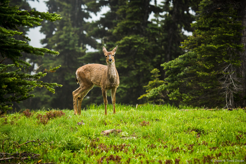 Deer on the Mount Angeles Trail, Hurricane Ridge, Olympic National Park- 9Z4A1272 © Zilcsak.jpg