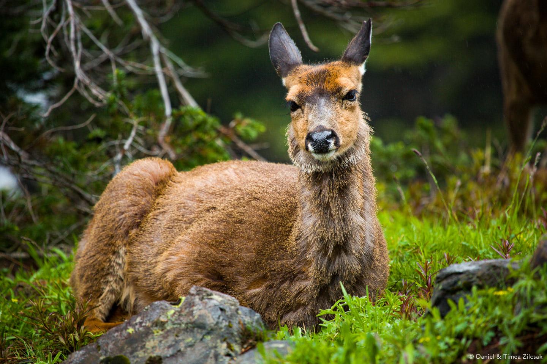 Deer on the Mount Angeles Trail, Hurricane Ridge, Olympic National Park- 9Z4A1285 © Zilcsak.jpg