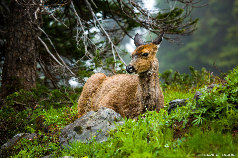 Deer on the Mount Angeles Trail, Hurricane Ridge, Olympic National Park- 9Z4A1306 © Zilcsak.jpg