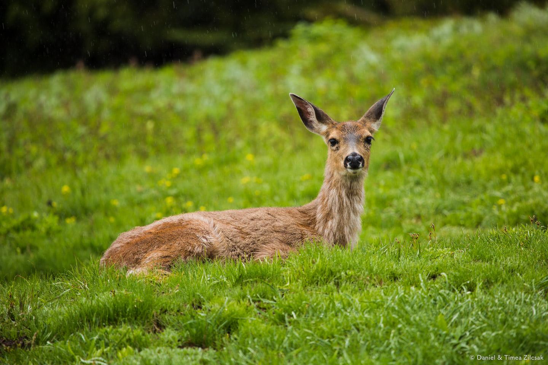 Deer on the Mount Angeles Trail, Hurricane Ridge, Olympic National Park- 9Z4A1316 © Zilcsak.jpg