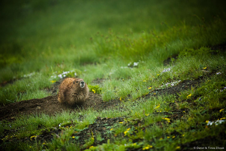 A curious marmot on the trail near Hurricane Ridge