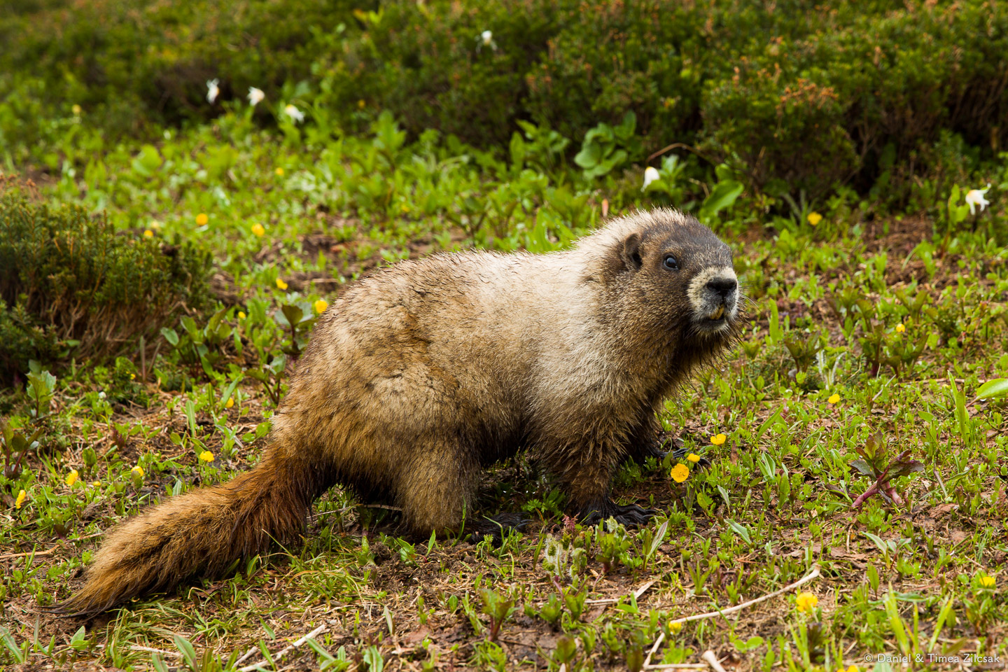 A friendly Marmot posing for us, above Paradise at Mount Rainier