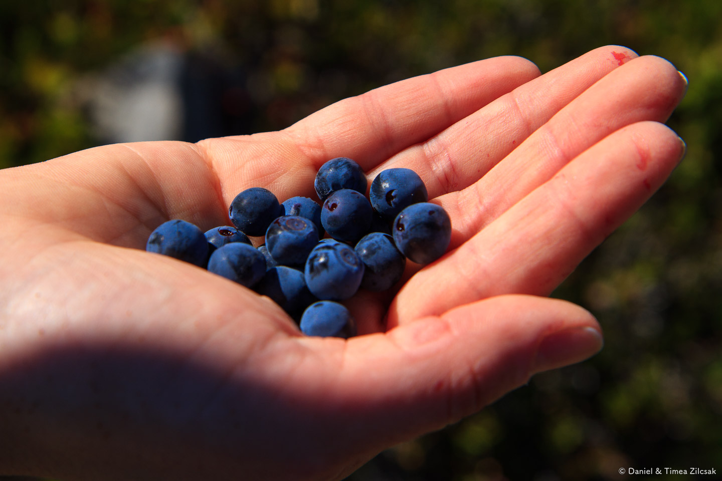 Delicious blueberries near Heart Lake