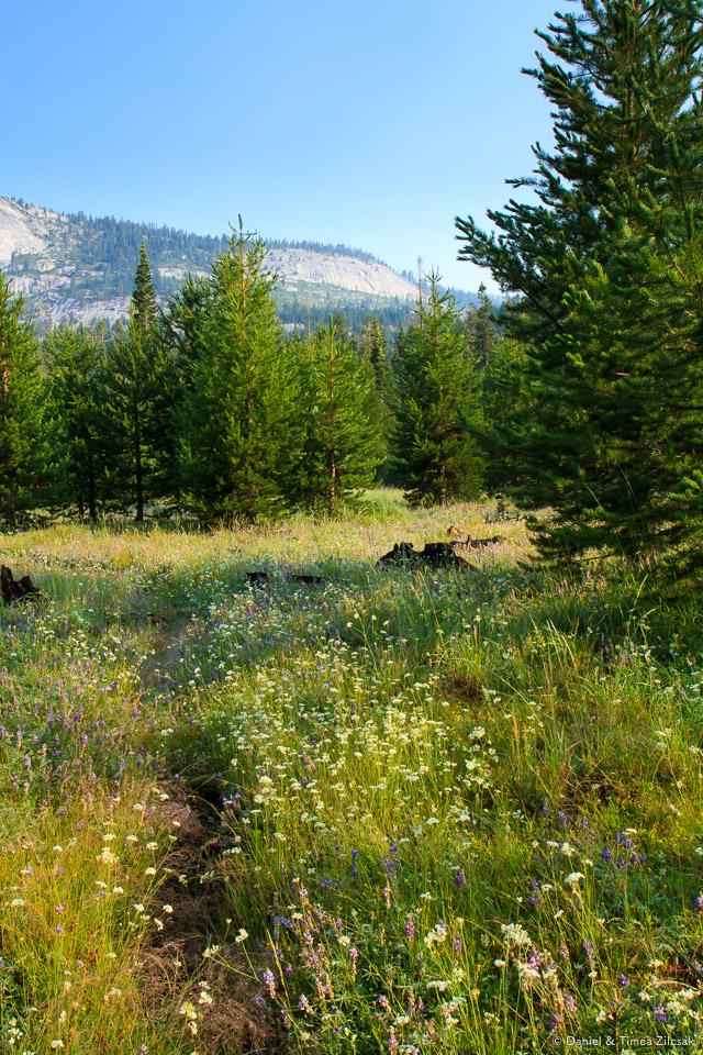 Beautiful flowers in a meadow traversing Echo Valley, Yosemite National Park