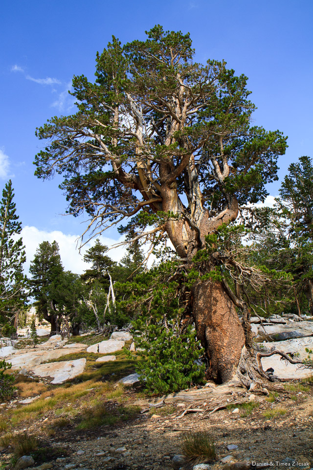 An old pine