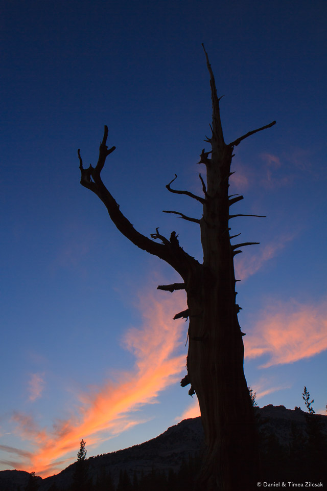 A pine against a colorful sunset