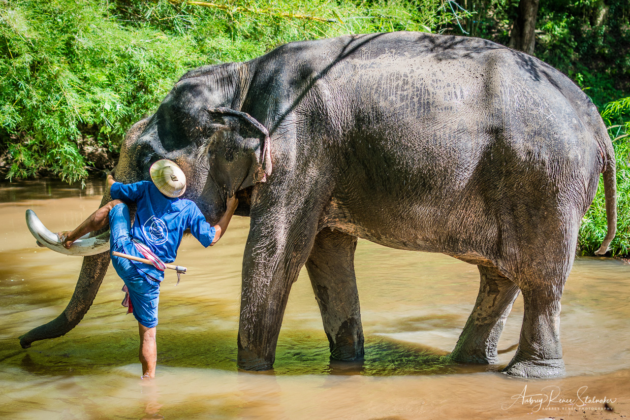 A Mahout Climbs his Elephant to Give Him a Bath