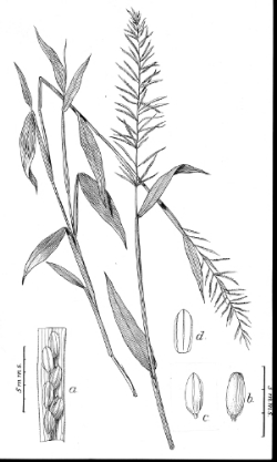 Illustration of  Paspalum scabriusculum , by Agnes Chase (1902). Image courtesyofHuntInstituteforBotanicalDocumentation ( Catalogue of the Botanical Art Collection at the Hunt Institute  I Public Domain)