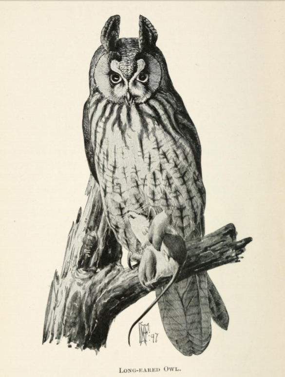 Long-eared Owl.  Citizen Bird  (1897), by Mabel Osgood Wright. (Biodiversity Heritage Library | Public Domain)