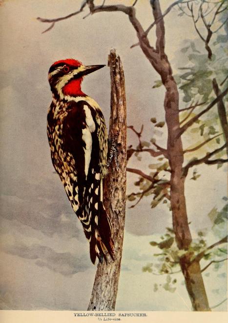Yellow-tailed Sapsucker.  Bird Neighbors  (1897), by Neltje Blanchan. ( Internet Archive  | Public Domain)
