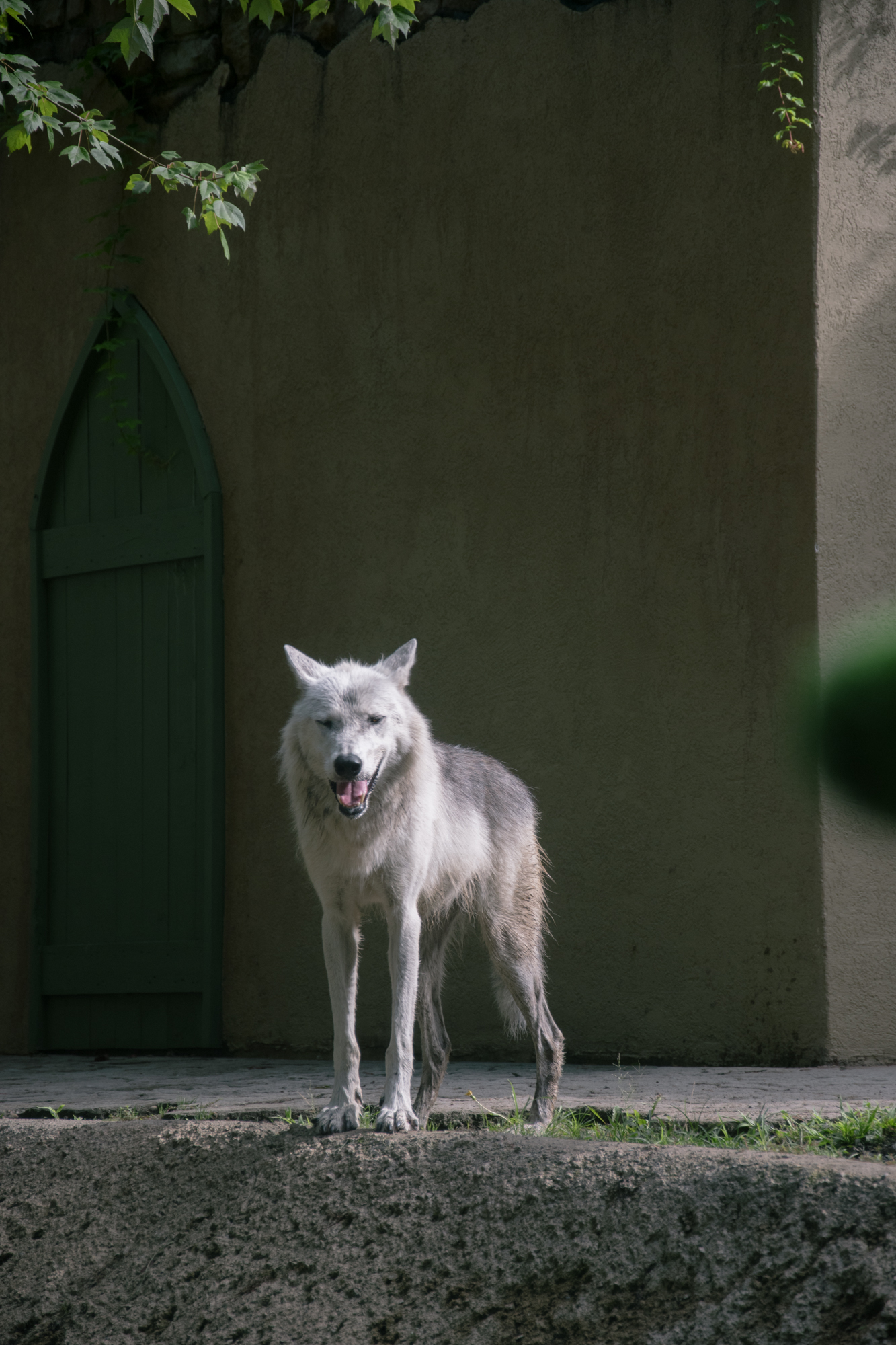 majestic beast. my first time seeing the wolves after many times walking past their crib and calling for them.