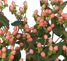 hypericum berry