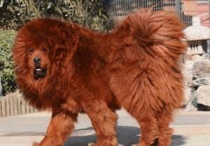 tibetan-mastiff-expensive-dog