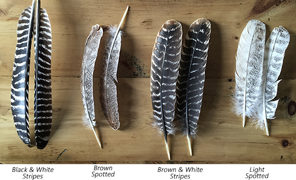 Each of these feathers are wing feathers from a turkey. I occasionally have other options, feel free to reach out if you are interested!