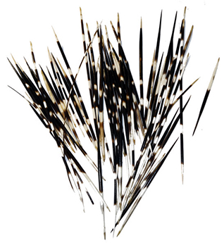 The African Porcupine Quills I use come from South Africa. They are hand-collected natural sheds from a small community farm. They range in size from 6 - 10 inches in overall length, the fattest part of the quill is slightly thinner than a pencil.