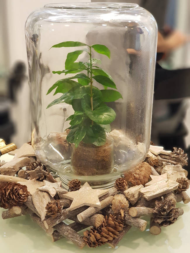 Kavovec v steklenem kozarcu je večji frajer kot božično drevo -