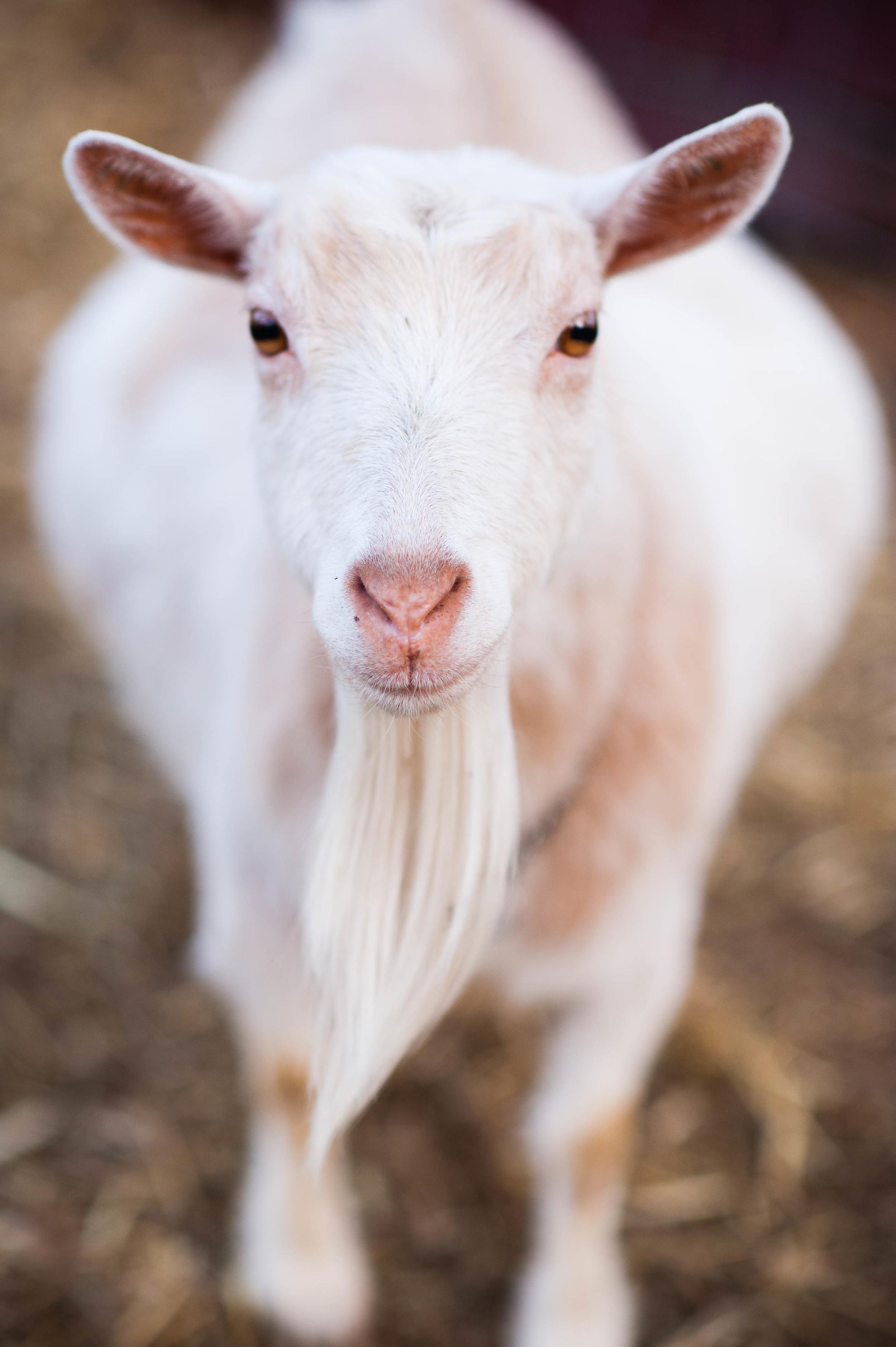 Goats-4.JPG