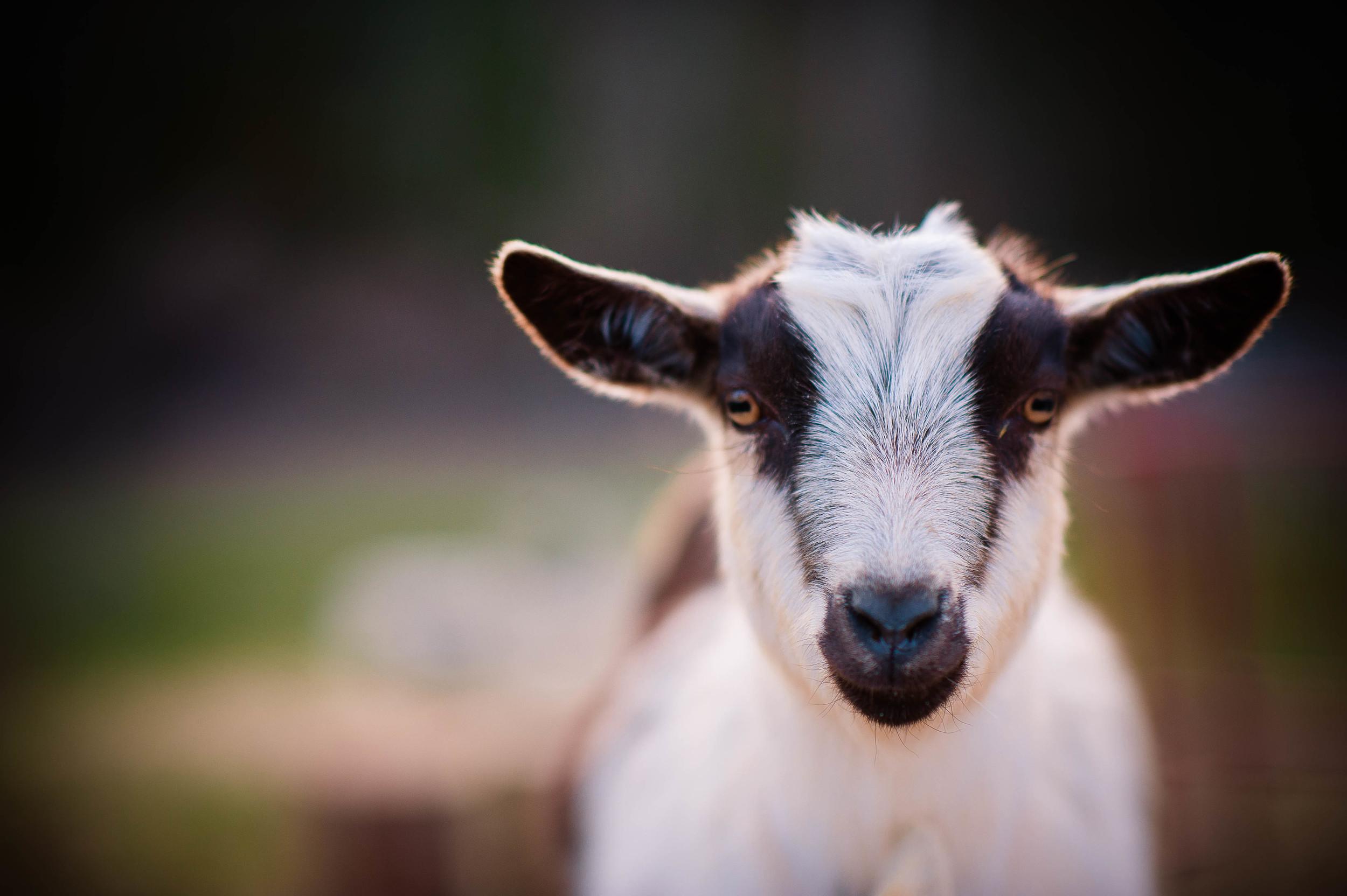 Goats-6.JPG