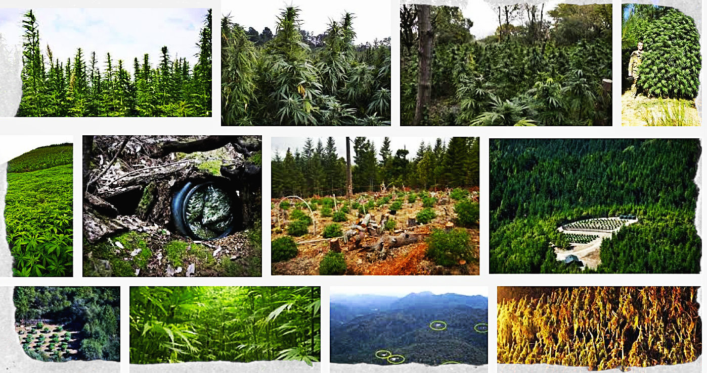 """There are hundreds and hundreds of pot farms in northern California. People who work on them are often called """"trimmigrants."""""""
