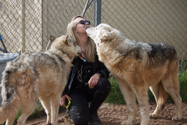 Straw surrounded by wolves Cheyanne to the left and Comanche to the right. Comanche was found chained inside of a van and it took three hours to surgically remove his collar.Photo by Alexandra Mosher.