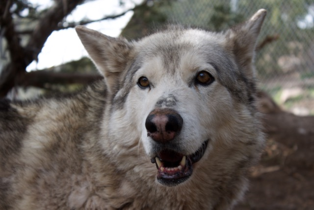 Nala is what Straw considers a low-content wolfdog and she is the alpha of her pack at the refuge. Photo by Alexandra Mosher.