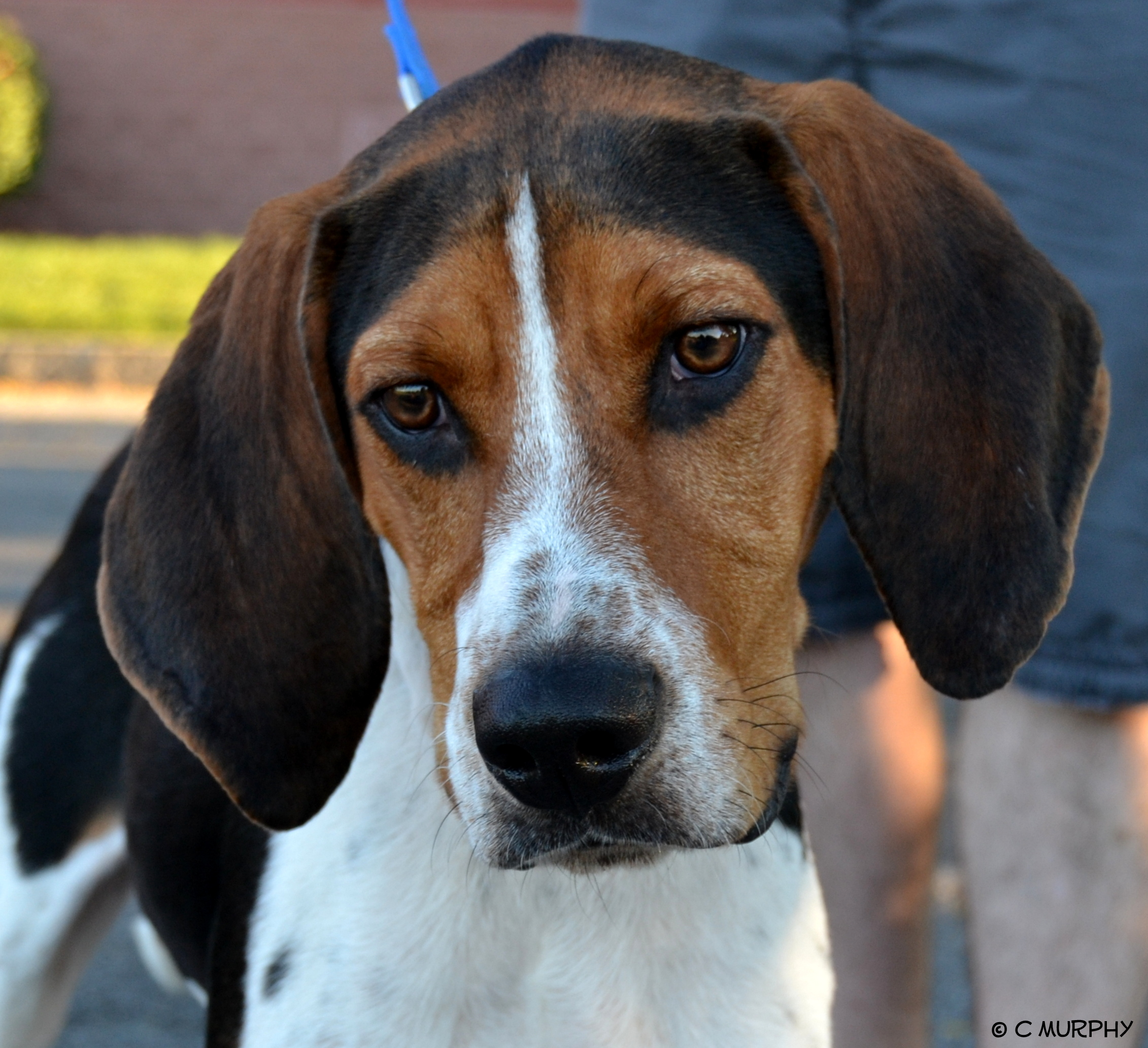 Welcome to Helping Hounds   Finding forever homes for rescue dogs in the Central New York area.   Adopt    Volunteer    Donate