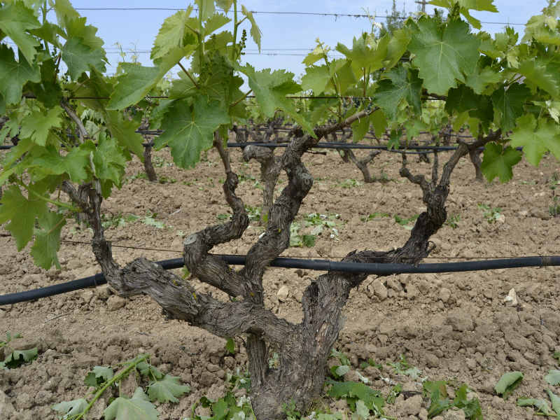 Example of a traditional Alberello vine.
