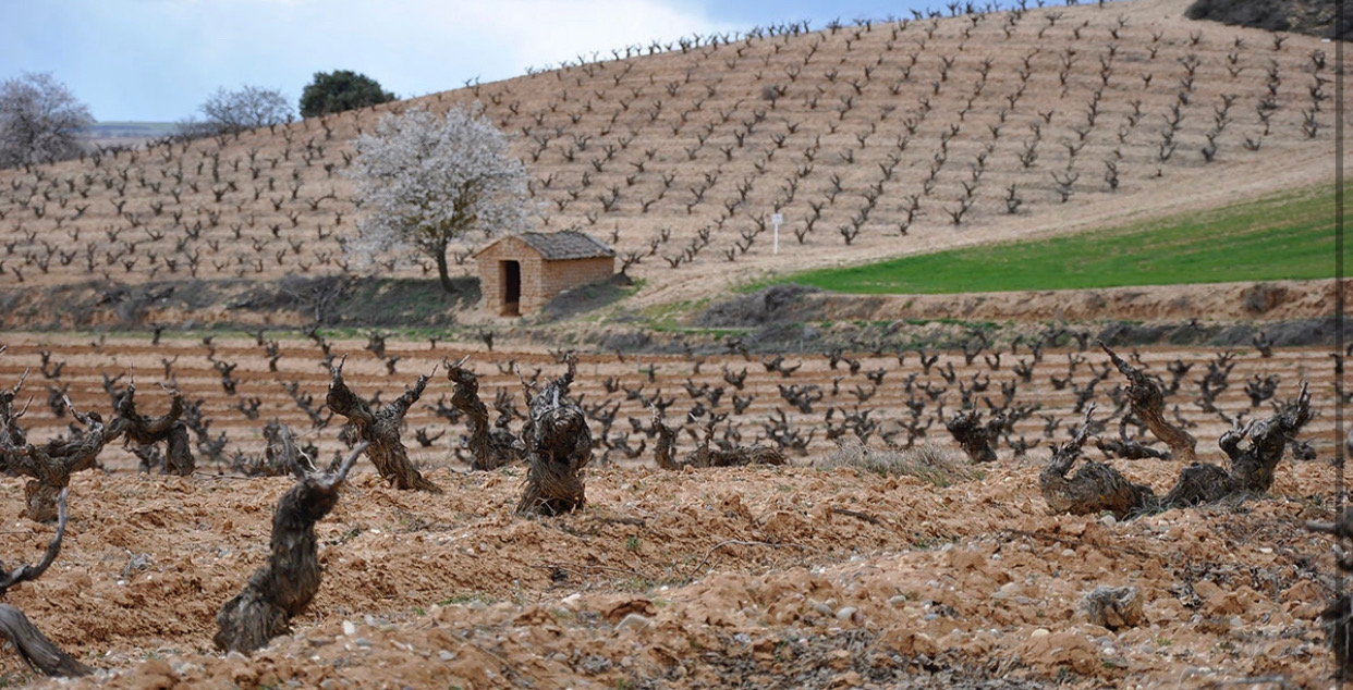 Thick, gnarly old vines in Tinto Figuero's vineyards.