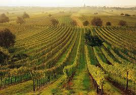 Vineyards in Burgenland, Austria  ( Photo: Austria.info)