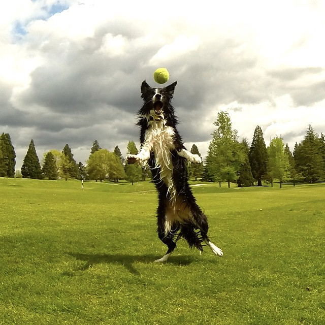 And for his next trick... #bordercollie #workingdog #wildlifemanagementcanine #goosepatrol #workhardplayhard  #geeseguys #portland #Oregon #pnwpups