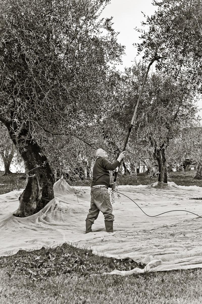 vc olive harvest 20101113 - 0034.jpg