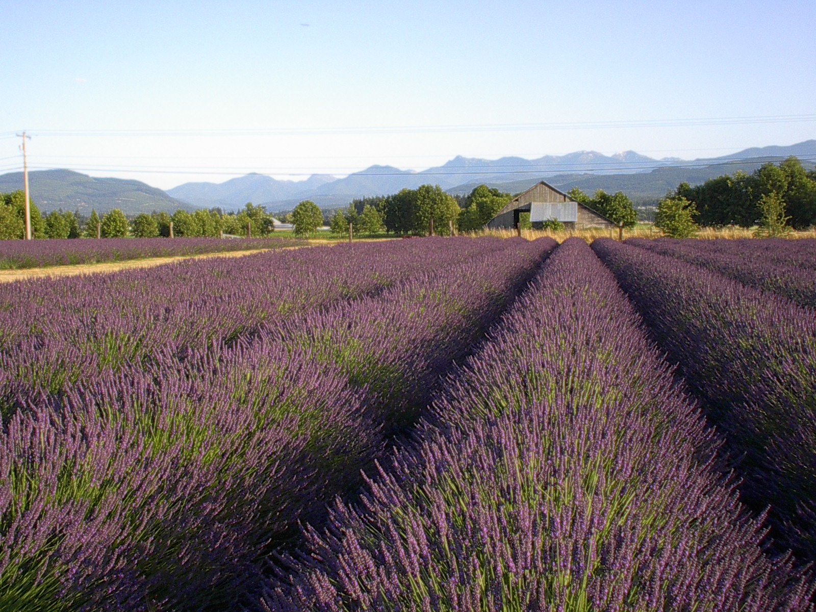 Lavender field Olympic Mountains and our Neighbors barn